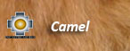 camel fur color